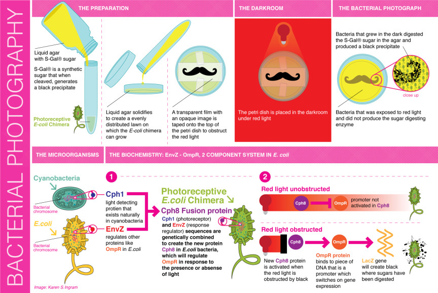 Diagram of the bacterial photography process